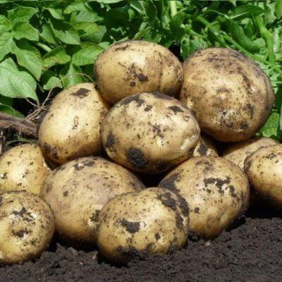 Картофель Фонтане