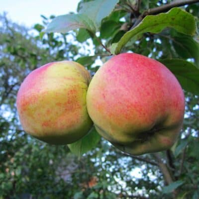 Яблоки Тальвенаудинг