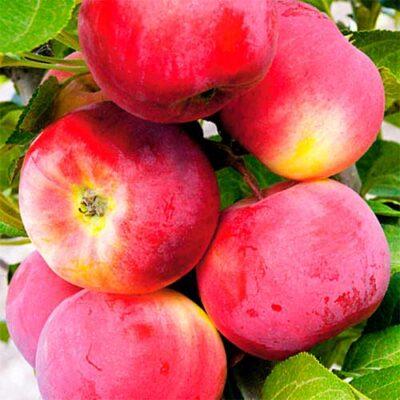 Яблоко сорт Малиновый
