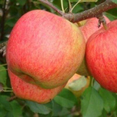 Яблоко сорт Пирос