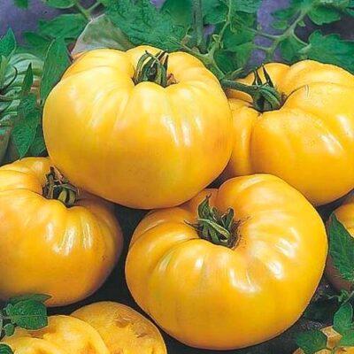 Kollane tomat (Eesti)