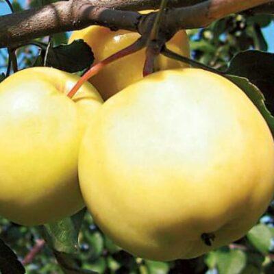 Õun sort Kuldranett