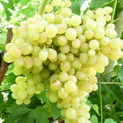 Viinamari hele Kišmišš