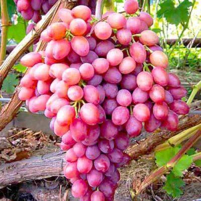 Viinamari roosa Kišmišš