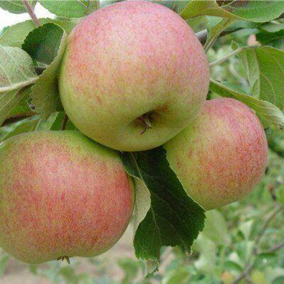 Õun sort Tiina