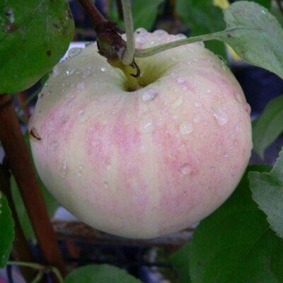Õun sort Lembitu